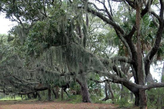 Edisto Island, SC: moss covered trees of the south