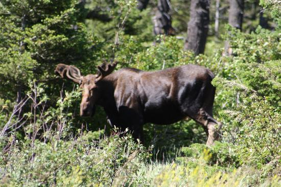 Glacier Bed & Breakfast & Log Cabins: Lucky enough to catch a moose.