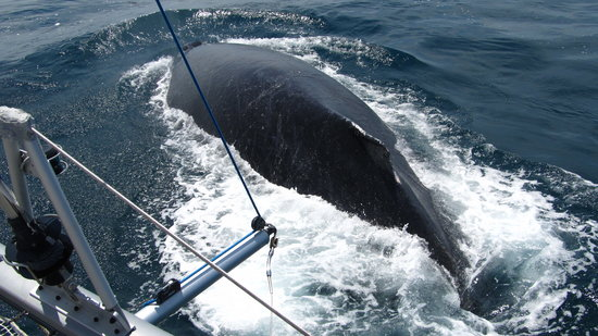 Whale Watching Panama: Up close and personal. WOW!!!