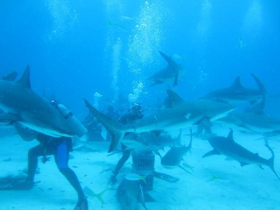 บริทิชโคโลเนียล ฮิลตัน แนสซอ: Stuart Cove shark dive