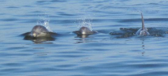 Daisey's Island Cruises : Dolphins