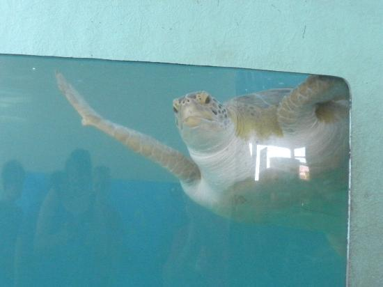 Sea Turtle, Inc.: This turtle LOVED seeing people come up to the tank