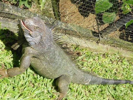 Alajuela, Kosta Rika: Ctenosaura