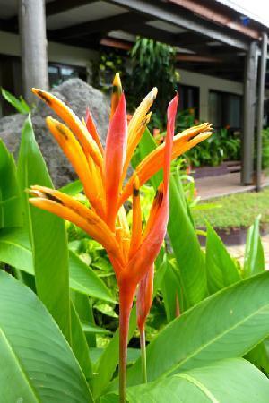 Lautoka, Fiji: Parrot Heliconia