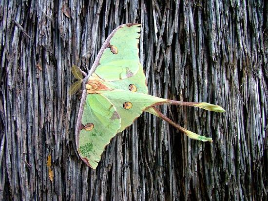 Ngwenya Lodge: Africa's most beautiful moth, photo take at Ngwenya