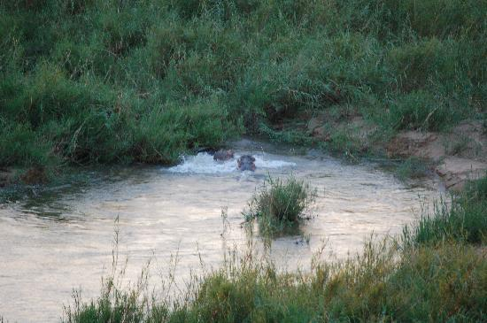 Ngwenya Lodge: Hippo fighting 50m from my porch