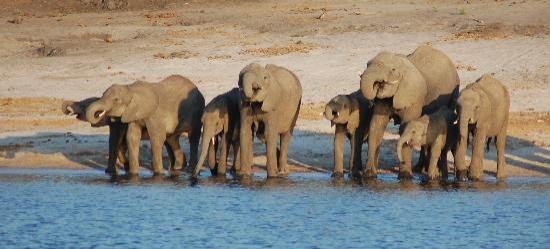 Chobe Safari Lodge : You don't know where to look it's just elaphants