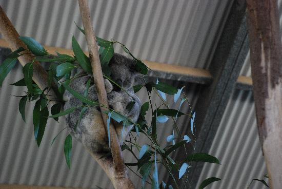 Billabong Zoo: Koala & Wildlife Park: Koala in the tree
