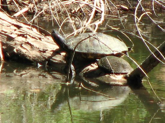 Hassayampa River Preserve: one of the denizens of the big pond