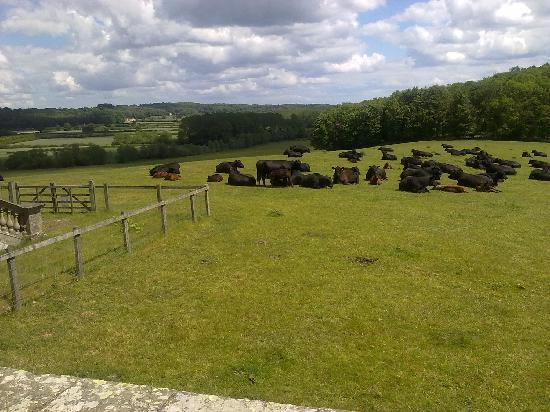 Castle Howard: The Resident Cows