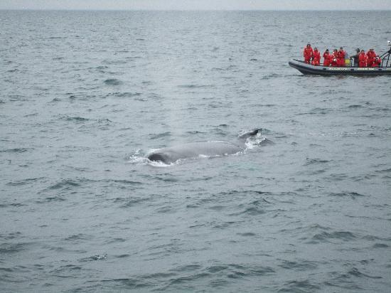 Mariner Cruises Whale and Seabird Tours: Whales between us and the zodiac