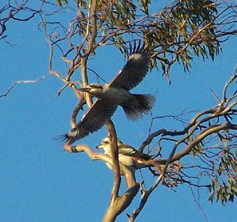 Battunga Bed and Breakfast: Kookaburras