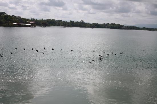 Rio Dulce: Cormorans