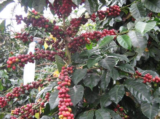 Villa Rica, Perù: Coffe arabica