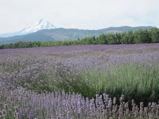 Hood River Lavender: Lavender Fields of the Fruit Loop