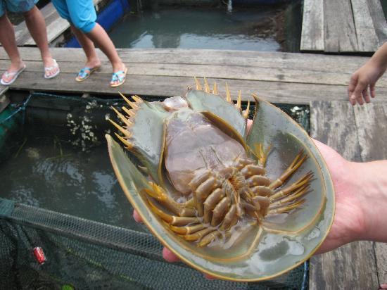 White Lodge Motel: geopark - at the fish farm (horseshoe crab)