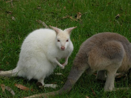 Adelaide, Australia: Couple Kangaroo's