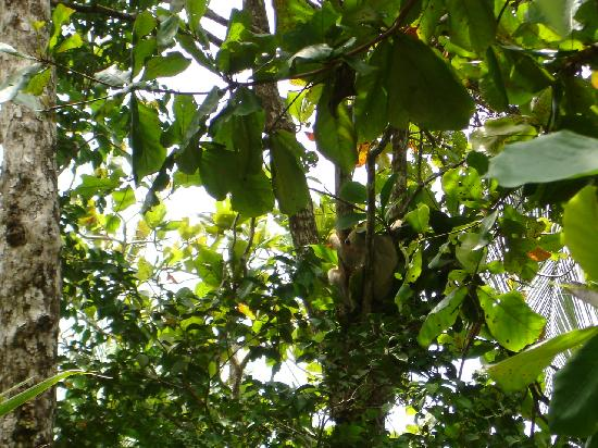 Playa Manuel Antonio: Two-toed Sloth