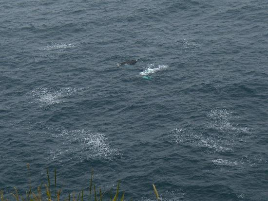 Cape Spear Lighthouse: Humpback whales