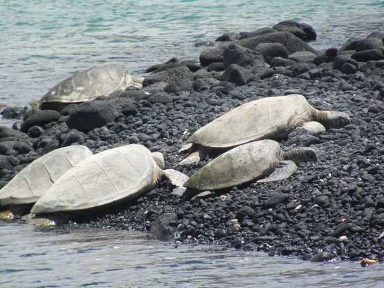 Kailua-Kona, HI: Turtles basking in the sun
