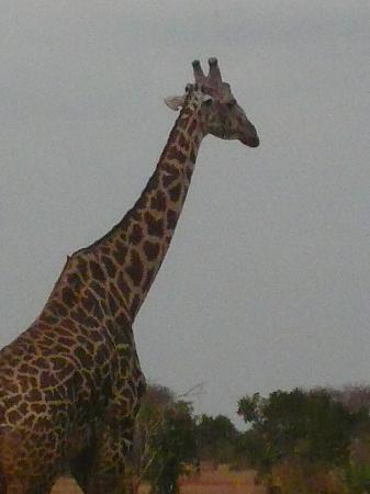 Safari Kenya Top - Private Day Tours: giraffe!