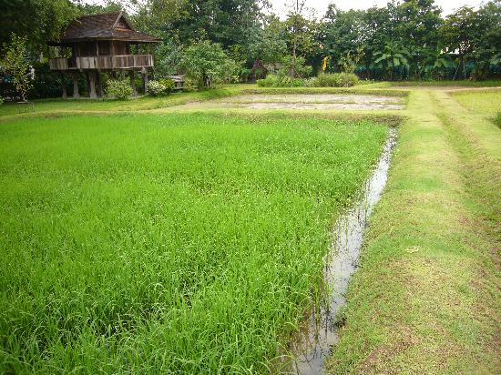 Siripanna Villa Resort & Spa: The paddy field