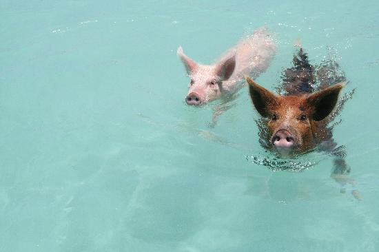Swimmin Pigs Picture Of Sandals Emerald Bay Golf