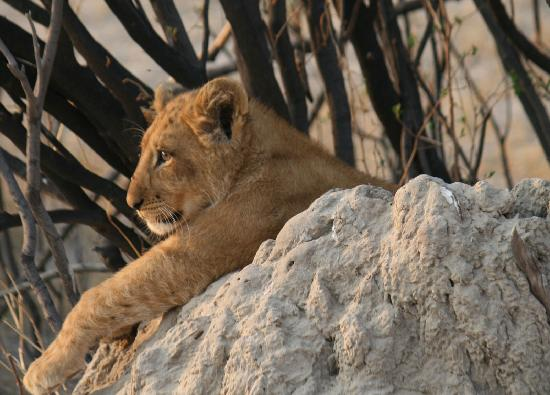 Savute Safari Lodge: Future King of the Jungle