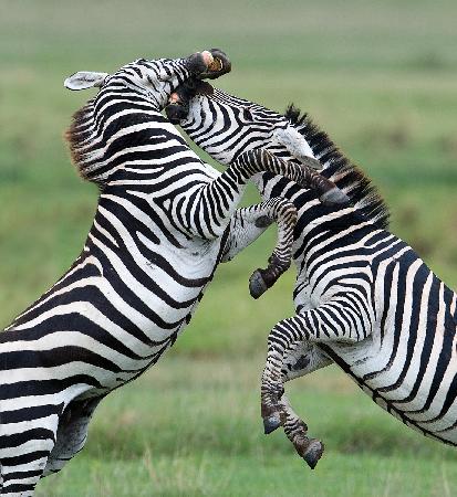 Arusha, Tanzânia: Wrestling, the Zebra way....