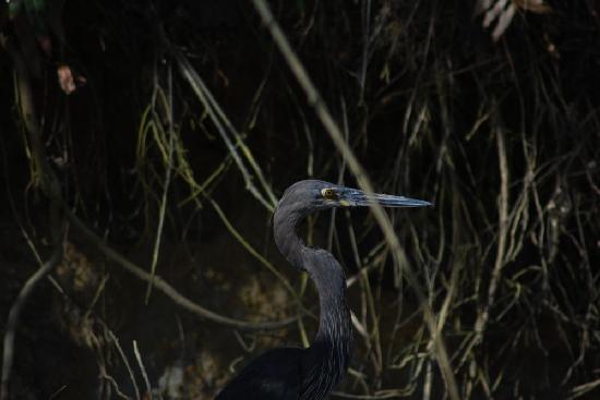 Dan Irby's Mangrove Adventures: Great billed heron