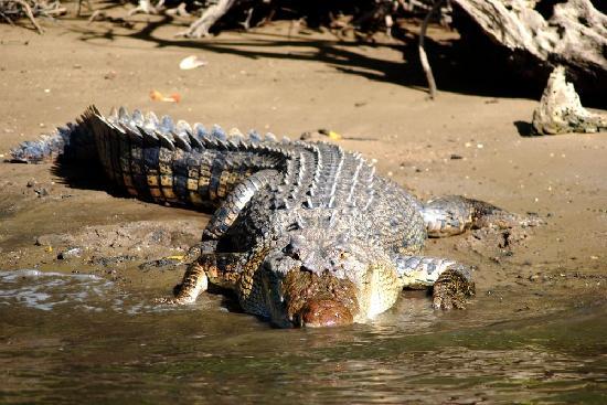 Dan Irby's Mangrove Adventures: salt water crocodile