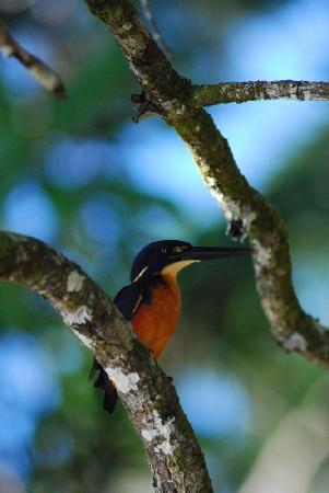 Dan Irby's Mangrove Adventures: azure kingfisher