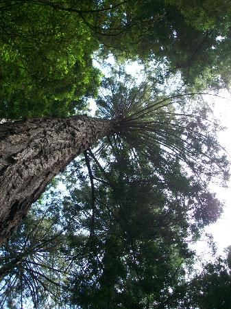 Riverside Campground and Cabins: looking up into redwoodes