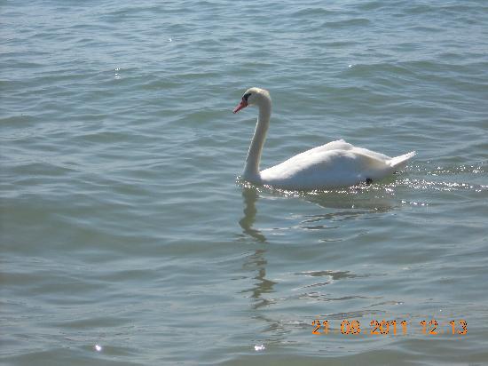 Jesolo Camping Village - Villaggio Turistico Adriatico: cigni al mare