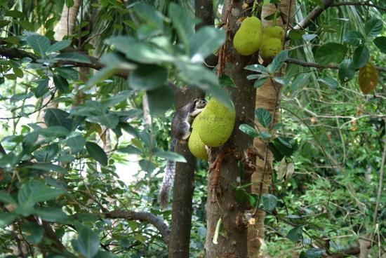 Saman's Guesthouse : Jackfruit in the garden