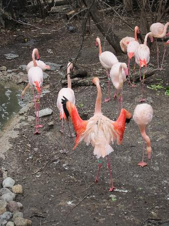 Cincinnati Zoo & Botanical Garden: awesome flamingos