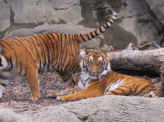 Cincinnati Zoo & Botanical Garden : beautiful tigers