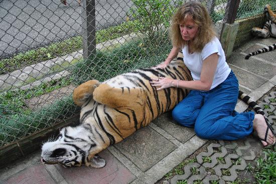 Tiger Kingdom Chiang Mai: Belly rub time!