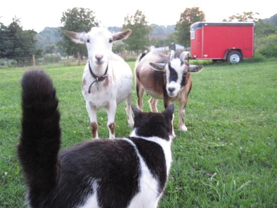 Hazen Manor: Milo and the goats