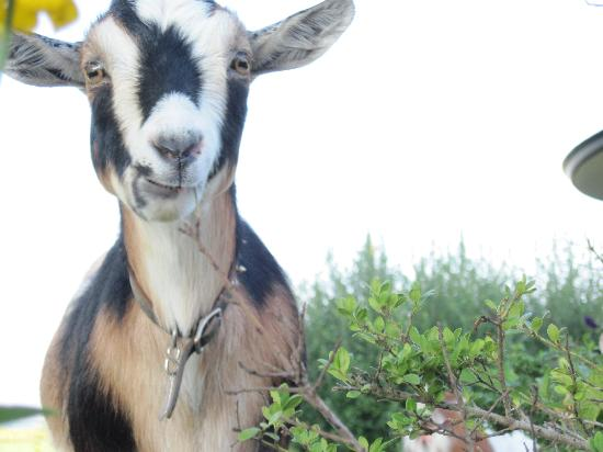 Hazen Manor: goat