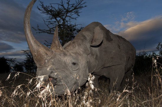 Laikipia County, Kenya: Ol Pejeta is the largest black rhino sanctuary in East Africa
