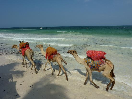 Diani Blue: Camel train in front of Asha Cottages