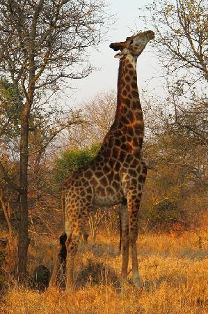 ชิดูลิ ไพรเวท เกมส์ ลอดจ์: Giraffe during game drive