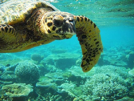 Centara Grand Island Resort & Spa Maldives: Turtle