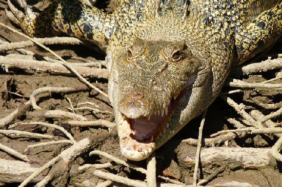 Dan Irby's Mangrove Adventures : Croc