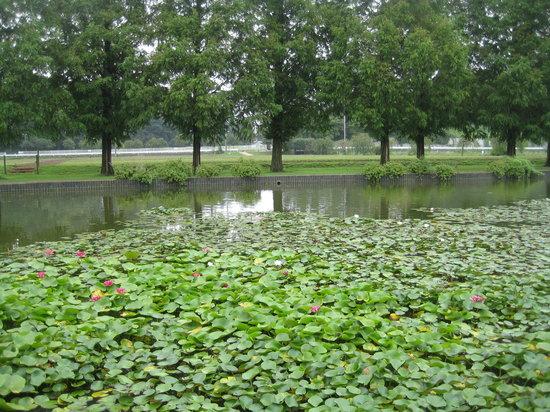 Kashiwa, Japan: あけぼの山農業公園 池に浮ぶスイレン