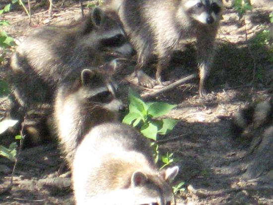 Cajun Pride Swamp Tours: raccoon