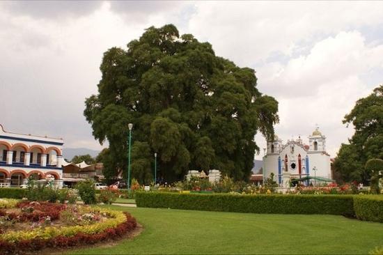 Tule Tree: el arbol de el tule