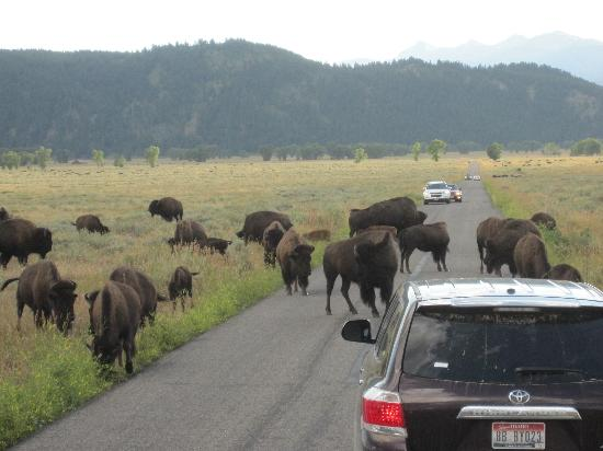 Wildlife Expeditions of Teton Science Schools: A different kind of traffic jam