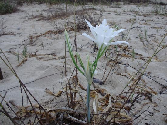 Alion Beach Hotel : sea lily